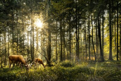 Plakat Sun is shining in forest and roe deer are grazing in beautiful forest