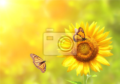 Plakat Sunflower and monarch butterflies on blurred sunny background