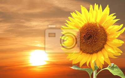 Plakat Sunflower and sunset