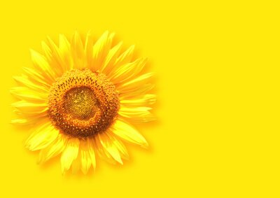Plakat Sunflower on background of yellow color
