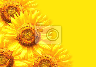 Sunflower on background of yellow color