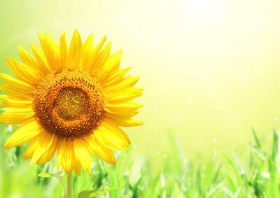 Sunflower on blurred sunny background