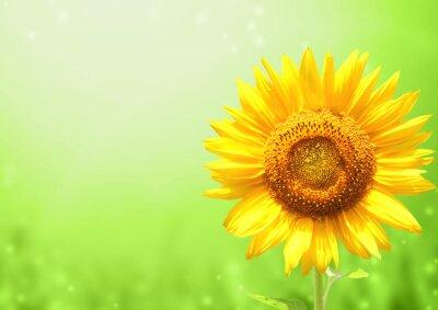 Plakat Sunflower on blurred sunny background