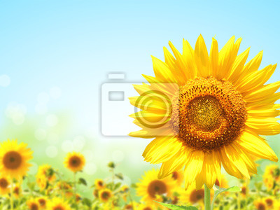 Plakat Sunflowers on blurred sunny background