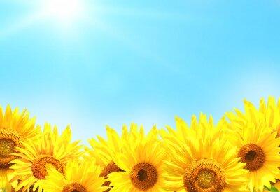 Plakat Sunflowers on blurred sunny background