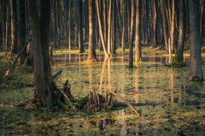 Plakat Swamp and backwaters of the Struga River near Piaseczno, Masovia, Poland