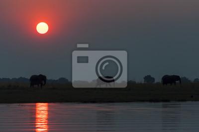 Plakat Sylwetka stado elepanhts o zachodzie słońca w Parku Narodowym Chobe w Botswanie; Koncepcja safari podróży i pobytu w Afryce