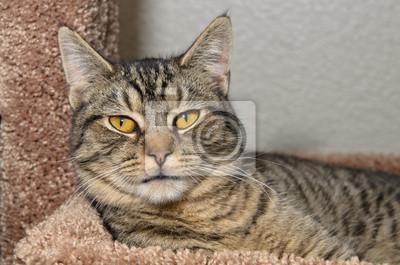 Plakat Szary Kot Bury Kot Leży Na Miękkim łóżku Brązowy Na Wymiar