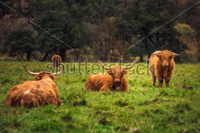 Plakat Szkocka górska krowa w polu z dużymi rogami i długimi włosami, Szkocja.