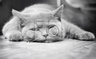 Szkocka Kitty