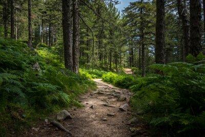 Plakat Tajemnicza ścieżka pełna korzeni w środku drewnianego lasu iglastego, otoczona zielonymi krzewami, liśćmi i paprociami znalezionymi w Corse we Francji