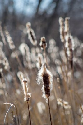 Plakat Thickets of cattails in early spring against the background of trees. Fluffy cattail. The contour.