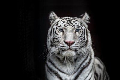 Plakat Tiger Bengal white variation. Beautiful female white tiger.