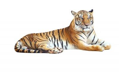 Plakat Tiger patrząc aparat fotograficzny z wycinek ścieżki na białym tle