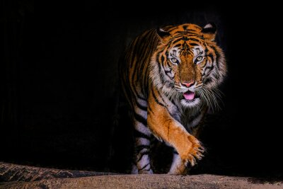 Plakat Tiger portrait of a bengal tiger in Thailand on a black background