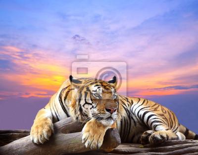 Plakat Tiger szuka coś na skale z piękne niebo o zachodzie słońca