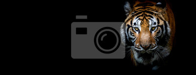 Plakat Tiger with a black background