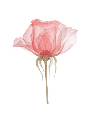 Plakat Transparent flowers of soft pink color drawn by hand in watercolor, isolated on a white background, drawing x-ray of flowers Delicate spring petals, pistils, stamens Botanical drawing flower structure