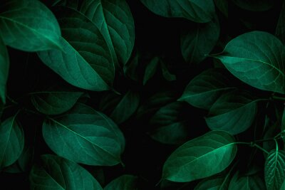Plakat tropical leaves texture, abstract green leaves and dark tone process, nature pattern background