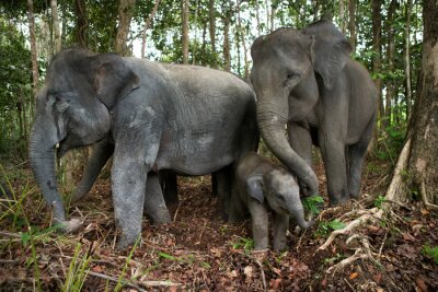 Plakat Trzy azjatyckie słonie w dżungli. Indonezja. Sumatra. Droga Kambas Park Narodowy. Doskonałą ilustracją.