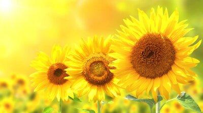 Trzy jasne żółte słoneczniki