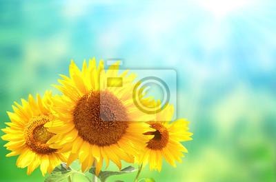 Trzy słonecznika na zamazanym pogodnym tle