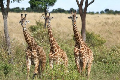 Plakat Trzy żyrafy stojący w pobliżu Bush
