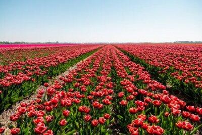 Plakat Tulip flower field in the Netherlands Noordoostpolder during sunset dusk Flevolands, colorful lines of tulips Europe