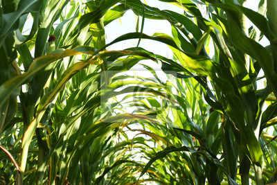 Plakat Tunnel of green corn leaves on field