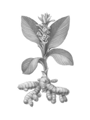 Plakat Turmeric Plant Pencil Illustration Isolated on White with Clipping Path