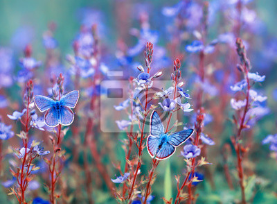 Plakat two beautiful little golubyanka Icarus butterflies sit on a blooming meadow on gentle blue flowers on a Sunny bright day