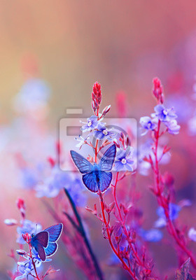 Plakat two bright little blue butterflies sitting on a flowering summer meadow with purple solar shades