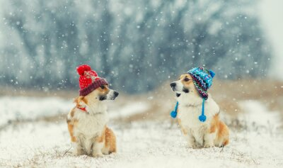 two cute identical brother puppy red dog Corgi sitting next to each other in the Park on a walk on a winter day in funny warm knitted hats during a heavy snowfall and looking at each other