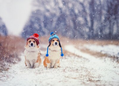 two cute identical puppy red dog Corgi sitting next to each other in the Park for a walk on a winter day in funny warm knitted hats during heavy snowfall