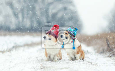 two cute red Corgi dogs sitting next to each other in the Park for a walk on a winter day in funny warm knitted hats during heavy snowfall