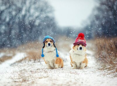 two cute similar brother puppy red dog Corgi sitting next to each other in the Park for a walk on a winter day in funny warm knitted hats during heavy snowfall