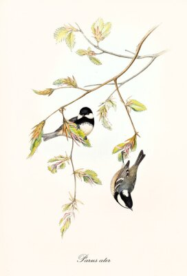Plakat Two little cute birds on a botanical composition with a thin branch with leaves. Old colorful and detailed illustration of Coal Tit (Periparus ater). By John Gould publ. In London 1862 - 1873