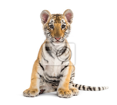 Plakat Two months old tiger cub sitting against white background
