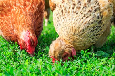 two poultry hens walk on the lush green grass in the yard of the farm in the spring and peck
