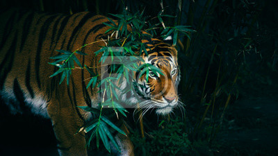 Plakat Tygrys Bengalski Ukrywanie W Lesie Za Zielonymi Gałęziami