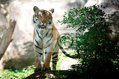 Plakat Tygrys Bengalski w lesie