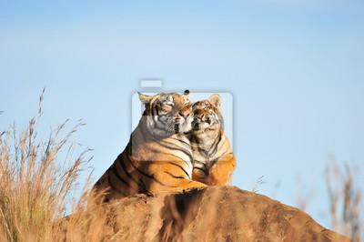 Plakat Tygrys matka i jej cub