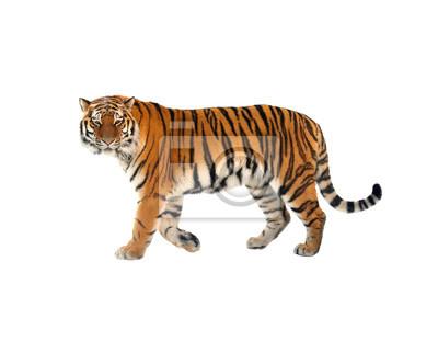 Plakat Tygrys syberyjski (P. t. Altaica), znany również jako Amur tygrysa