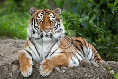 Plakat Tygrys syberyjski (Panthera tigris altaica)