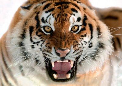 Plakat Tygrys syberyjski Warcząc