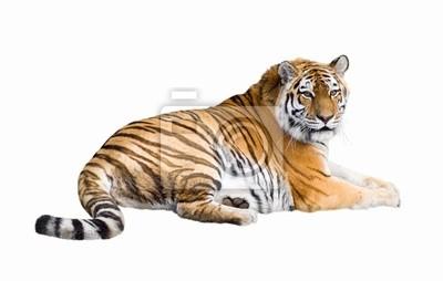 Plakat Tygrys syberyjski wyłącznik
