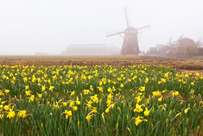 Typical for Holland rural landscape with field of blooming yellow daffodils and the silhouette of a windmill at spring misty morning