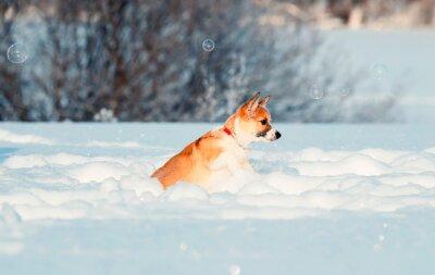 uroczy czerwony szczeniak Corgi śmieszne łapie lśniące mydło piękne bąbelki w zimie Sunny Park zręcznie skacze w białych zaspach