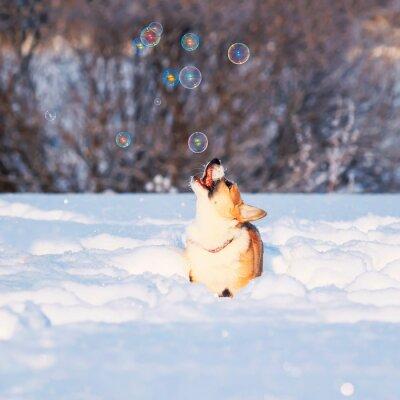 uroczy czerwony szczeniak Corgi złapać bańki mydlane piękna zabawa skacząc na białym śniegu w winter Park