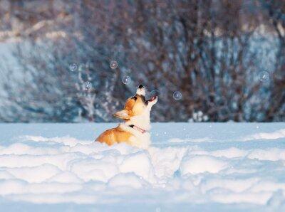 uroczy czerwony szczeniak Corgi zręcznie łapie bańki mydlane z otwartymi ustami piękna zabawa skoki na białym śniegu w Winter Park